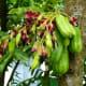 Bilimbi fruits (Kamyas)