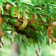 Tamarind (Sampalok)