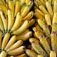 Lakatan/Lacatan bananas from Mindanao Philippines.