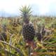 Pineapple (Pinya)
