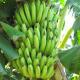 Banana (Saging)
