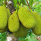 Jackfruit (Langka)