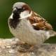 Male European House Sparrow