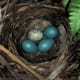 Brown-Headed Cowbird, speckled egg in a Robin's nest.