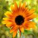 Sunflower Soft Light