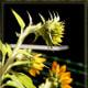 Sunflower Direction