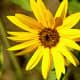 Very Yellow Sunflower