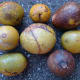 bael fruits at different stages of ripeness