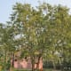 The bael or stone apple tree