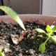 Amaranthus dubius or spleen amaranth seedlings are reddish in color.