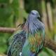 Nicobar Pigeon, the closest living relative of Dodo