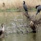 Neotropic Cormorants at Keith-Wiess Park