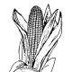 """In 1621, Massasoit and his band of native Americans in what is now Massachusetts grew 20 acres of corn and shared it with the English settlers. In the Southwest especially, corn is known as """"maize."""""""