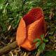 Rafflesia ciliata