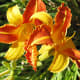 A colourful lily