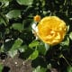 A lovely yellow rose