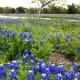 Mckinney Falls State Park Bluebonnets - Austin TX