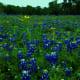 Mckinney Falls State Park State Flower Texas Bluebonnets- Austin TX