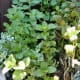 Mint, a great herb for flavouring, ideal for omelettes, cooking potatoes and use in many other dishes