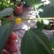 Saluyot or jute mallow flower.
