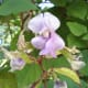 A close-up photo of a hyacinth bean flower with young pods.