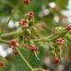 cashew flowers