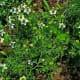Nigella sativa plants