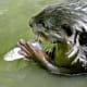 Fish is not their primary diet. They eat mainly crabs, mollusks, snail, frogs and mud skipper fish.
