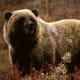 State Animal: Grizzly Bear [3]