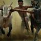 Traditional Bull Racing in Kerla