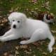 (cc image, DogsBreedSierramichelsslettvet) A Puppy Maremma Sheepdog