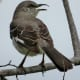 Northern Mockingbird in Mason Road Park