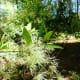 Fringe Tree at Kleb Woods