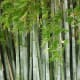 Tall stands of bamboo