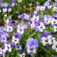 Viola cornuta. Originated from SW Europe
