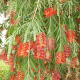 Weeping Bottlebrush originated in SE Australia