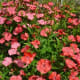 China Pink Dianthus chinesis and Diamond Coral originated in China