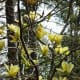 Yellow blooming magnolias