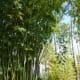 Weavers bamboo originally from southern China