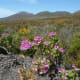 Fynbos at Cape Point, Cape Peninsula, South Africa