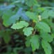 Poison oak grows in a vine around trees or in a small shrub.