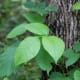 Poison ivy grows in vines up on trees or along the ground.