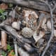 Morel mushrooms grow wild in wooded areas.