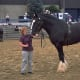 A shire horse and its handler.