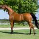 Arabian mare.