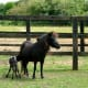 Falabella mare and foal.