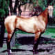 Akhal-Teke showing signature coat.