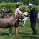 A 12-year-old strawberry roan with flaxen Shetland pony stallion is being rewarded with a I prize.