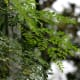 Moringa tree and leaves