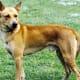 Canaan Dog